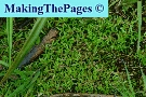 crassula water - crassula helmsii