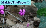 cyclaam dwerg - cyclamen parviflorum