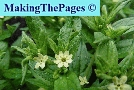 parelzaad glad - lithospermum officinale
