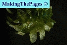 waterpest brede - elodea canadensis